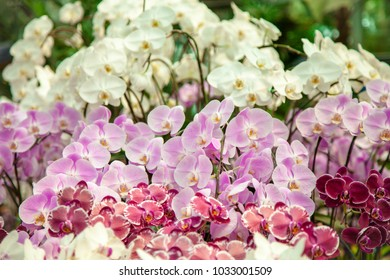 Refreshed Phalaenopsis Orchid Blooming flowers Joyful in Spring flower garden Colorful .
