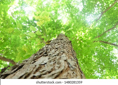 Refreshing and beautiful nature. Green tree leaves and branch sky backgrounds taken from the low point of view and look upwards toward the top.