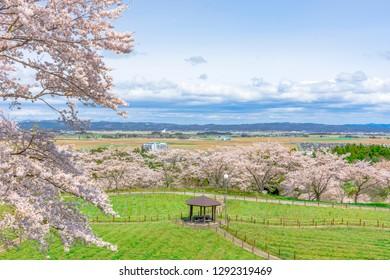 Refreshing cherry blossoms in Miyagi