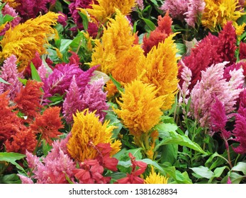 Refreshing and distinctive colors of the Plumed cockscomb blossom or Celosia argentea in the garden.