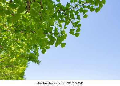 It is a refreshing landscape of early summer with a clear blue sky and fresh green ginkgo leaves.