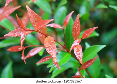 Refreshing in the rainy season, water drops on red leaves, light and photosynthesis of leaves, beautiful in nature