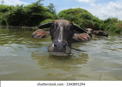 Refreshment of Water buffalo. Male water buffalo bathing in the pond in east java