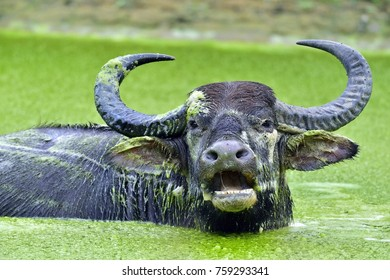 Refreshment of Water buffalo.  Male water buffalo bathing in the pond in Sri Lanka. The Sri Lanka wild water buffalo (Bubalus arnee migona),