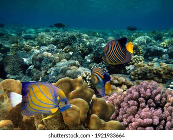 Regal Angelfish (Pygoplites diacanthus) in the Red Sea, Egypt.