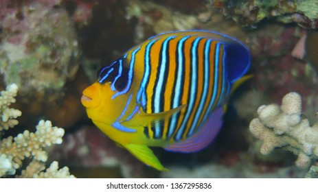 regal angelfish (Pygoplites diacanthus) or royal angelfish swimming in front of the beautiful panorama reef in the Red Sea in Egypt