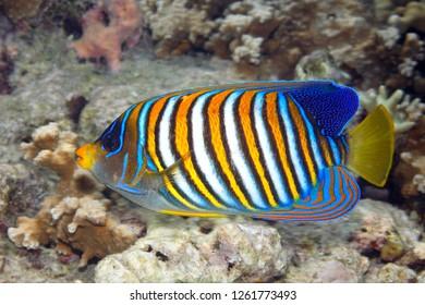 Regal Angelfish, Pygoplites diacanthus, swimming over coral reef. Also known as Royal Angelfish. Uepi, Solomon Islands. Solomon Sea, Pacific Ocean