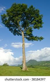 Regal ceiba pentandra tree standing as a lone sentinel on a hill