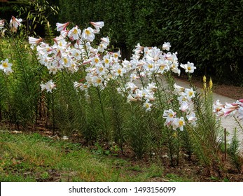Regal lily flowering plants (Lilium regale, Lilium fanfare, Trumpet lily or King's lily)  growing along the side of a garden alley