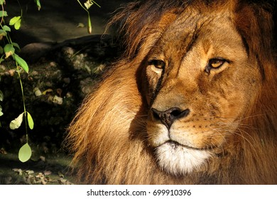 Regal lion close-up of face and mane wild zoo animal noble creature