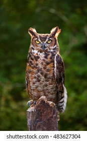 Regal Looking Great Horned Owl on tree stump