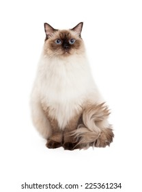A regal looking Ragdoll Cat sitting and looking into the camera.