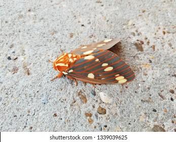 Regal Moth (hickory horned devil)/texarkana arkansas 2018