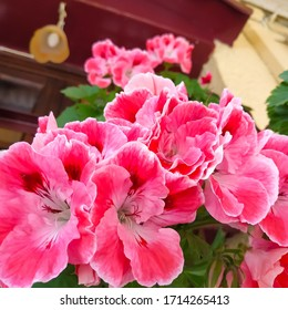 Pelargonium Images Stock Photos Vectors Shutterstock