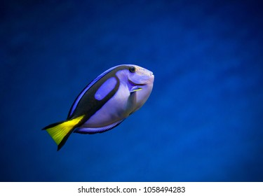 Regal Tang the blue fish on a nice blue underwater background