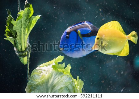 Regal and Yellow Tang fish enjoy some lettuce as a form of enrichment at an aquarium in Japan.