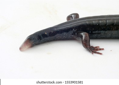 Regenerating tail in a Northern Dusky Salamander (Desmognathus fuscus). A large part of the tail was lost in the past.  A new tail, visible as the pale bud, is growing to replace the lost tail.