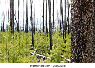 Regeneration of Lodgepole Pine after a forest fire in the Interior of British Columbia, Canada.