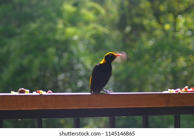A Regent's Bowerbird is standing on a fence. He has colurs of black and brilliant gold or yellow. Some fruit is to either side of him.
