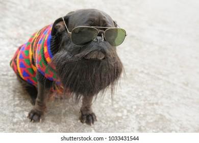 Reggae Star pug dog.Funny face of pug dog wearing Fake beard.
