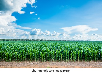 Region of Sorisso - Mato Grosso Green young Cornfield on the land with a light blue sky and some clouds on the far end cloud with some green tress on the Back