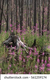 Regrowth in a burned forest is begun by fireweed, so named because it is often the first plant to return after a forest fire.  Banff National Park, Alberta, Canada.