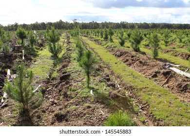 Regrowth in pine plantation  in early winter after harvesting in south west western Australia .
