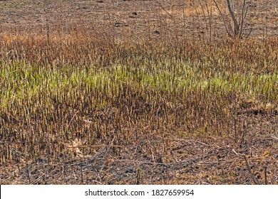 Regrowth in a Prairie After a Fire in Deer Grove Preserve in Illinois