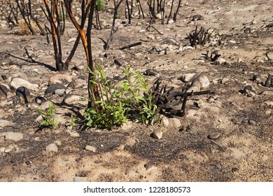 regrowth of willow trees after a wildfire