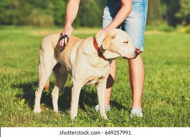Regular caring for dog. Young man brushing his yellow labrador retriever.