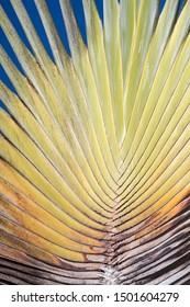 regular fan palm leaf texture