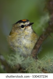 Regulus madeirensis, Madeira firecrest. Small bird enedemic to Madeira island.  Vertical, close up photo. Laurisilva of Madeira, UNESCO World Heritage.