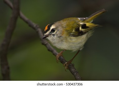 Regulus madeirensis, Madeira firecrest. Small bird enedemic to Madeira island.   Laurisilva of Madeira, UNESCO World Heritage.