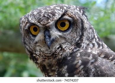 Rehabilitating Eagle Owl at the Raptopr rehabilation centre near Addo, South Africa
