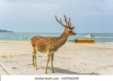 Rehabilitation Of The Formosan Sika Deer in A Small Island - Daqiu (Deer Watching Paradise) At Matsu, Taiwan
