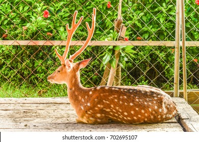 Rehabilitation of the Formosan Sika Deer in a Small Garden Zoo,