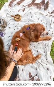Reiki treatment and stone healing on Cavalier spaniel