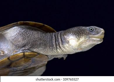 Reimann's snake-necked turtle (Chelodina reimanni)