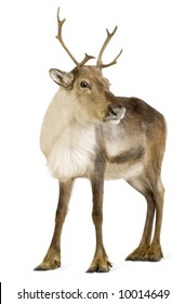 reindeer 2 years in front of a white background - Reindeer Images 2