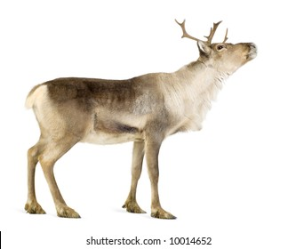 reindeer (2 years) in front of a white background