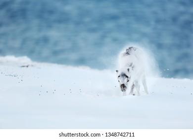 Reindeer baby under the snow