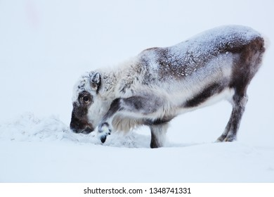 reindeer burrows in the snow