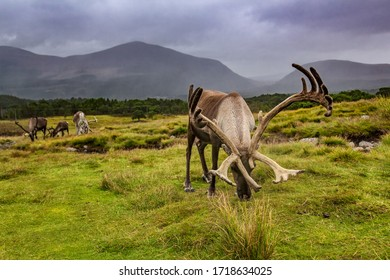The reindeer of Cairngorms National Park