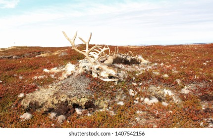 A reindeer carcass lying on the ground in an arctic landscape.  The skull and the antlers in the focal point. Bare bones, tufts of coat visible.