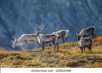 Reindeer or Caribou (Rangifer tarandus) in nature with autumn colours