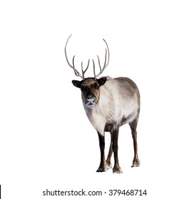 Reindeer or Caribou in Winter on White Background,Isolated