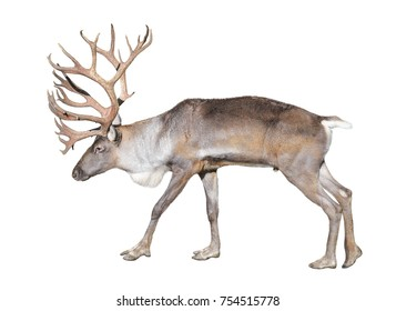 Reindeer close up. Finnish forest reindeer isolated on white background. The Finnish forest deer is a rare and threatened subspecies of reindeer native to Finland and northwestern Russia.