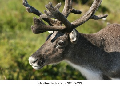 reindeer close up, norway