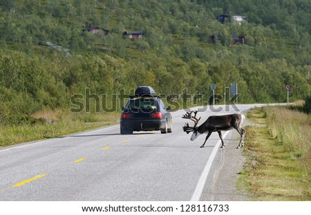 Reindeer is crossing the road