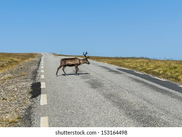 Reindeer is crossing the the road in Finnmark, Norway